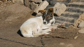 Cute white puppy with brown muzzle on a chain in an old yard basking in the sun. Cute white puppy with a brown muzzle on a chain in an old yard basking in the stock video