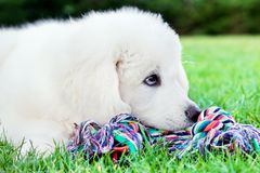 Cute white puppy dog lying on grass. Stock Images