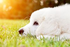 Cute white puppy dog lying on grass Stock Photo