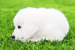 Cute white puppy dog lying on grass Royalty Free Stock Photography