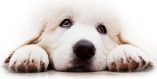 Cute white puppy dog lying and looking up. Polish Tatra Sheepdog Stock Images