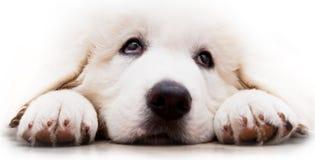 Cute white puppy dog lying and looking up. Polish Tatra Sheepdog Stock Images