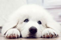 Cute white puppy dog lying on wooden floor Stock Images