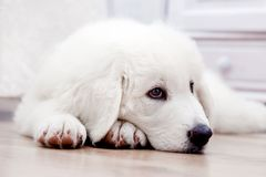 Cute white puppy dog lying on wooden floor Stock Photos