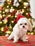Cute puppy dog maltese with santa hat and christmas tree in background for holidays stock image