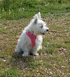 Cute white puppy dog. Photo of a cute adorable puppy dog wearing a pink harness on beach Royalty Free Stock Image