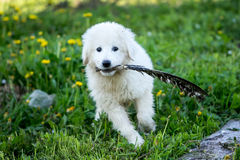 Cute white puppy dog playing Royalty Free Stock Photography