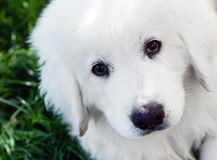 Cute white puppy dog portrait. Polish Tatra Sheepdog Stock Images