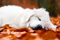 Cute white puppy dog sleeping in leaves. Cute white puppy dog sleeping, relaxing in leaves in autumn, fall forest. Polish Tatra Mountain Sheepdog, known also as royalty free stock photo