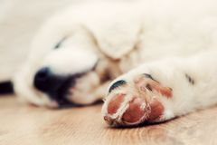 Cute white puppy dog sleeping on wooden floor Royalty Free Stock Photography