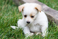 Cute white puppy in the grass Stock Photography