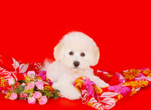 Cute white puppy with pink flowers on a red background. Beautiful fluffy and curly dog. Royalty Free Stock Photos