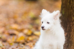 Cute white puppy Royalty Free Stock Image
