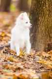 Cute white puppy Royalty Free Stock Photography