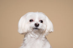 Cute white puppy posing in studio - Maltese dog Stock Image