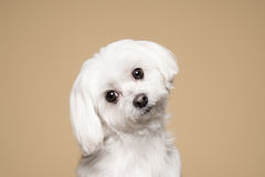 Cute white puppy posing in studio - Maltese dog Stock Photography