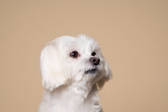 Cute white puppy posing in studio - Maltese dog Royalty Free Stock Image