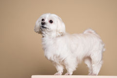 Cute white puppy posing in studio - Maltese dog Royalty Free Stock Photos