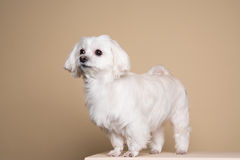 Cute white puppy posing in studio - Maltese dog Stock Images
