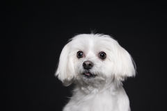 Cute white puppy posing in studio - Maltese dog Stock Photos
