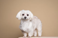 Cute white puppy posing in studio - Maltese dog Royalty Free Stock Images