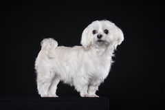 Cute white puppy posing in studio - Maltese dog Stock Photo