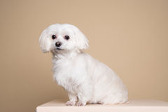 Cute white puppy posing in studio - Maltese dog Royalty Free Stock Photography