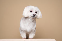 Cute white puppy posing in studio - Maltese dog Royalty Free Stock Photo