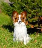 Papillon posing in the autumn on the background of spruce. Beautiful dog sitting in green grass with yellow leaves. Cute white puppy with a red head on the stock photo