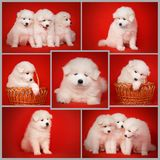 Set from White Puppies of Samoyed Dogs. Cute White Puppy of Samoyed Dog on Red Background. White Laika Puppy for your animal designs. Set of High Resolution Royalty Free Stock Images