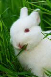 Cute white rabbit eats grass Stock Photo