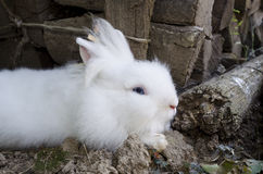 Cute white rabbit Royalty Free Stock Image