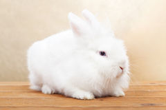 Cute white rabbit on wooden surface Royalty Free Stock Images