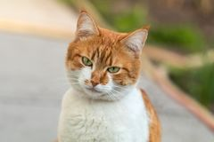 Cute white-and-red cat in a red collar in the grass. Cat is star Royalty Free Stock Images