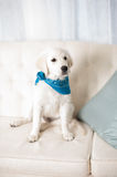 Cute white retriever puppy wearing bandana Royalty Free Stock Photography