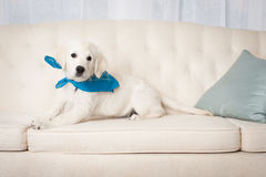 Cute white retriever puppy wearing bandana Stock Photo