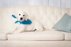 Cute white retriever puppy wearing bandana Stock Photo