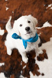 Cute white retriever puppy wearing bandana Stock Photos