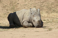 Cute White Rhino Baby. Lying on the floor royalty free stock photo