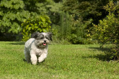Cute white running dog Stock Photos