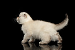 Cute White Scottish Fold Kitten Walking, side view Isolated Black Royalty Free Stock Photo
