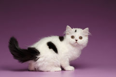 Cute White Scottish straight Kitten Playing and Looking back Stock Image