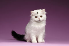Cute White Scottish straight Kitten Sits and Looking down Stock Photography