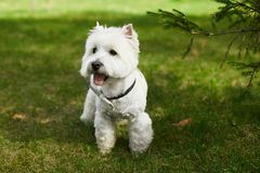 Cute white scottish terrier in bow tie posing on the green grass at sunny summer day stock photo