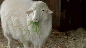Cute white sheep eating green grass. Portrait of woolly ewe eating hay in stable. Sheep farming concept royalty free stock photography
