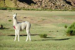 Cute white small lama on green field Stock Image
