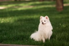 Cute white spitz dog outdoor. Cute white spitz dog on the green grass outdoor Royalty Free Stock Images