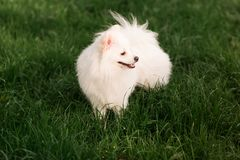 Cute white spitz dog outdoor. Cute white spitz dog on the green grass outdoor Royalty Free Stock Photography