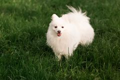 Cute white spitz dog outdoor. Cute white spitz dog on the green grass outdoor Stock Images