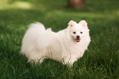 Cute white spitz dog outdoor. Cute white spitz dog on the green grass outdoor Royalty Free Stock Image